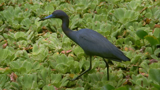 medium shot little blue heron standing in patch of aquatic plants in marsh / florida everglades - 1992 stock videos & royalty-free footage