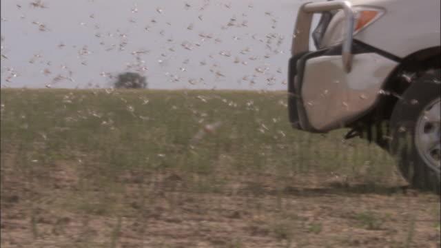 vidéos et rushes de medium shot - locusts swarming around truck grill as it drives forward / australia - medium group of animals