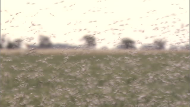medium shot - locusts swarming  / australia - medium group of animals stock-videos und b-roll-filmmaterial