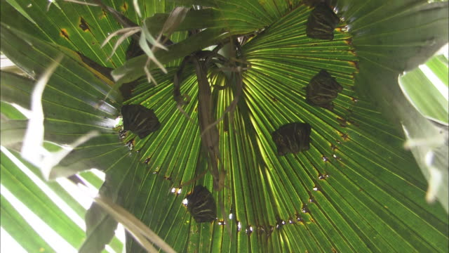 medium shot, low angle; five bats hanging beneath palm frond - frond stock videos & royalty-free footage