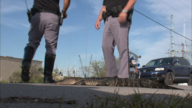 Medium Shot Low Angle - Policemen standing next to dead alligator in the street / New Orleans Louisiana