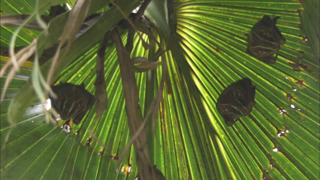 medium shot, low angle; three bats hanging beneath palm frond - frond stock videos & royalty-free footage
