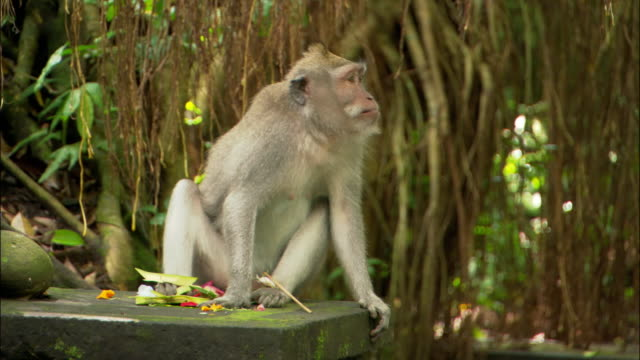 medium shot macaque sitting on bridge eating flowers and looking around in the ubud monkey forest sanctuary / bali, indonesia - macaque stock videos and b-roll footage