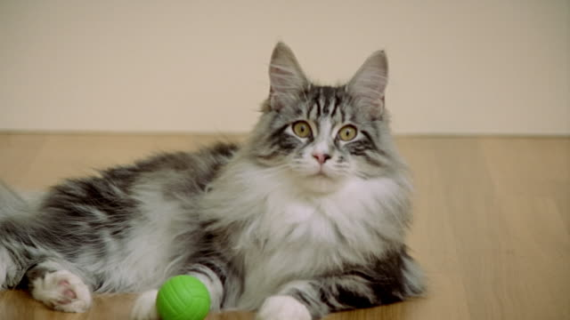 medium shot maine coon cat laying and playing with ball/ california - animal hair stock-videos und b-roll-filmmaterial