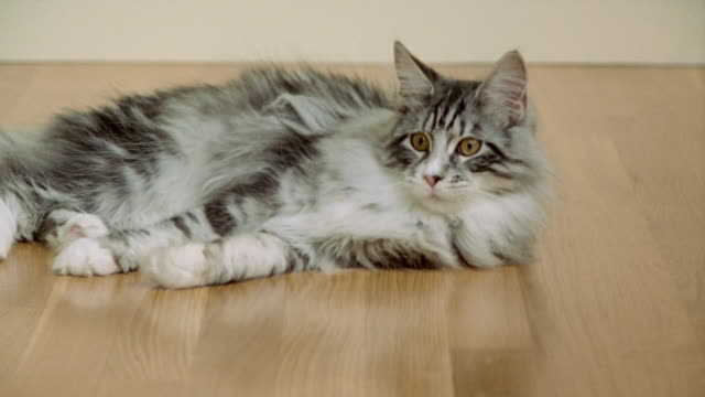 stockvideo's en b-roll-footage met medium shot maine coon cat lying down and playing with ball/ california - dierenhaar