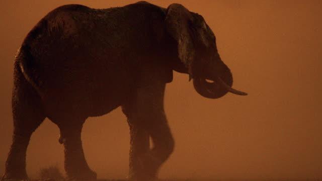 medium shot male african elephant walking / botswana, africa - tierpenis stock-videos und b-roll-filmmaterial