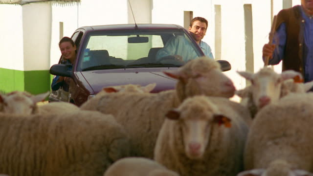 Medium shot male shepherd clearing way through flock of sheep in street for car with tourist couple / Portugal
