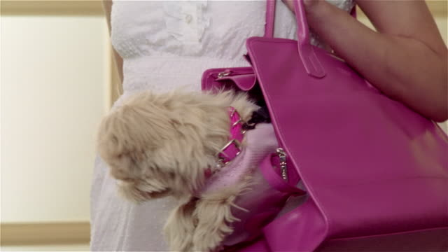 Medium shot Maltese-Toy Poodle mix being carried in pink shoulder bag