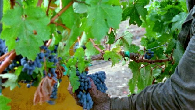 vídeos y material grabado en eventos de stock de medium shot man cutting grapes from vine at robert mondavi winery/ napa valley, california - oficio agrícola