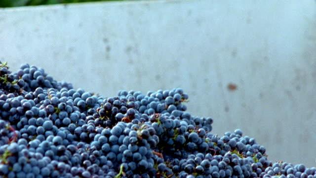 Medium shot man dumping bin of harvested grapes into larger bin at Robert Mondavi Winery/ Napa Valley, California