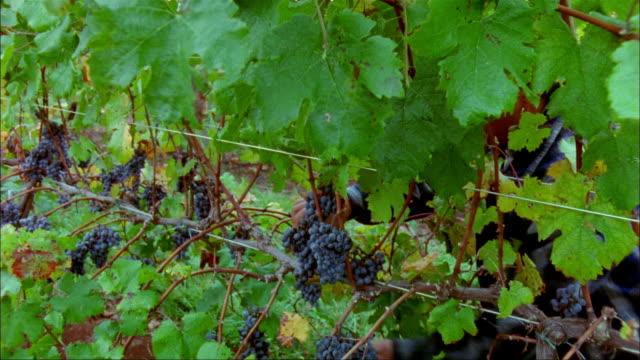 medium shot man harvesting grapes/ charlottesville, virginia - grape leaf stock videos and b-roll footage