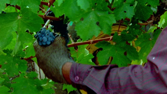 Medium shot man pulling grapes from vine at Robert Mondavi Winery/ Napa Valley, California