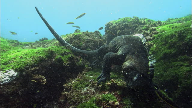 Medium shot marine iguana feeding on rocks on ocean floor / Galapagos Islands, Ecuador