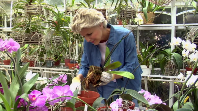 medium shot mature woman gardening among orchids in greenhouse - gardening glove stock videos & royalty-free footage