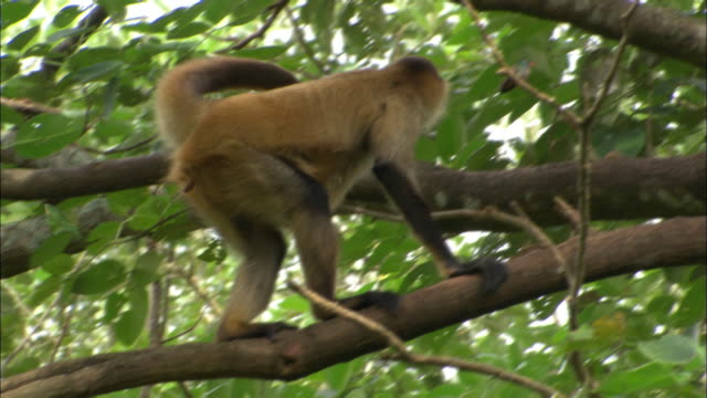 medium shot monkey sitting in tree, hunched over hugging itself / standing up and walking on branches / sarchi, costa rica - tree hugging stock videos & royalty-free footage
