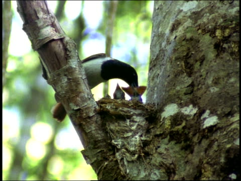 medium shot mother bird feeding winged insect to young in nest / madagascar - kleine gruppe von tieren stock-videos und b-roll-filmmaterial