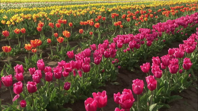 vídeos de stock, filmes e b-roll de medium shot multicolored rows of tulips/ zoom in close up pink tulips/ willamette valley, oregon - medium group of objects