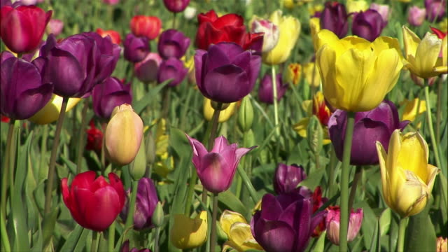 vídeos de stock, filmes e b-roll de medium shot multicolored tulips/ zoom out wide shot large tulip field with mountains in background/ willamette valley, oregon - medium group of objects