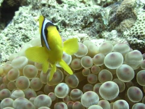 medium shot nemofish in nice anemone. - clown fish stock videos & royalty-free footage