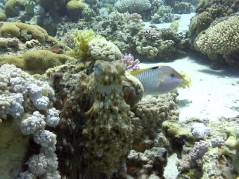 vídeos de stock e filmes b-roll de medium shot octopus changing colours and moving away. - camuflagem padrão