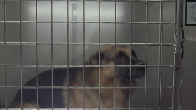 A medium shot of a barking, frustrated, German Shepherd trapped in a cage.