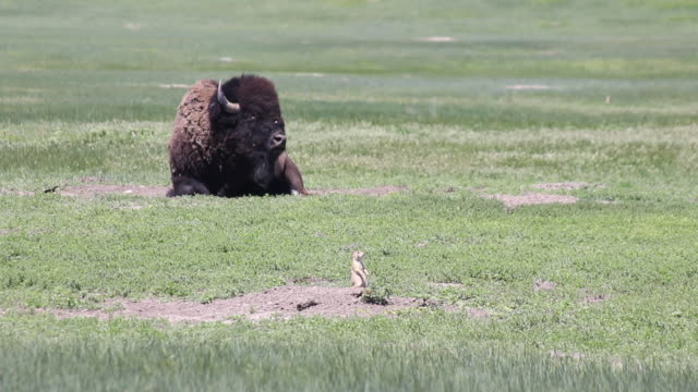 medium shot of a buffalo in a field in badlands national park - badlands national park stock videos & royalty-free footage