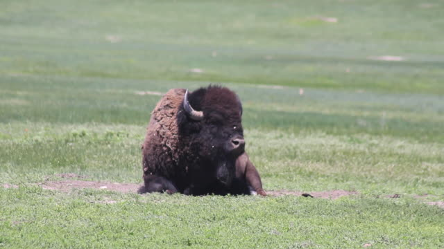 Medium Shot of a buffalo laying in the grass in Badlands National Park