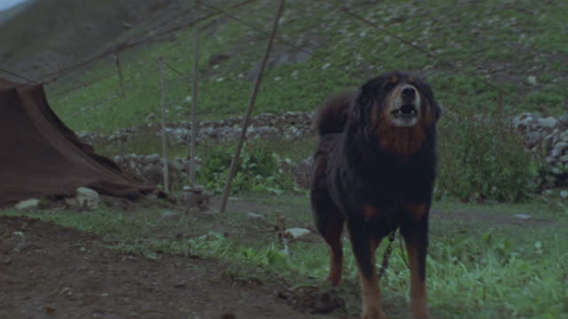 medium shot of a chained, black dog barking, lunging and snarling at a campsite in tibet. - anger video stock e b–roll