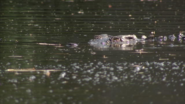 medium shot of a crocodile lurking in murky swampy water - one animal stock videos & royalty-free footage