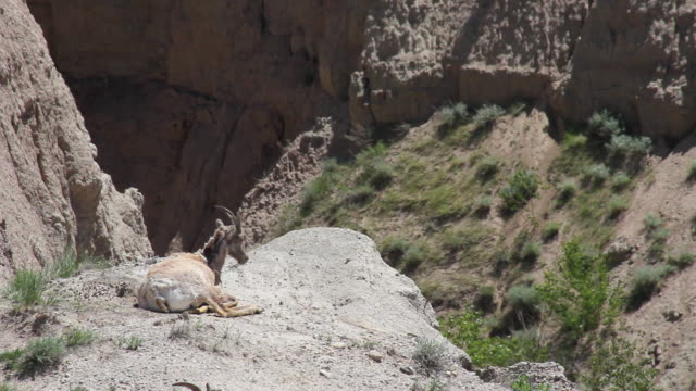medium shot of a goat laying on a rock in badlands national park - badlands national park bildbanksvideor och videomaterial från bakom kulisserna