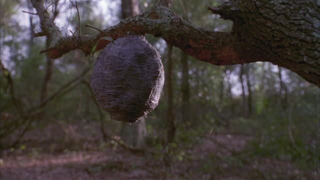 Medium shot of a hornet nest hanging from a tree and water squirting on it intermittently.