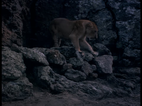 Medium shot of a lioness leaping off a ledge after a pack of hyenas.
