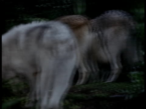 Medium shot of a pack of wolves searching for tidbits.