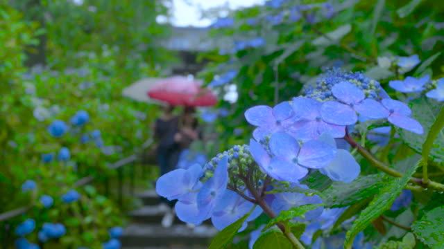 vídeos y material grabado en eventos de stock de medium shot of a rain-moistened blue hydrangea, miyagi, japan. - hortensia
