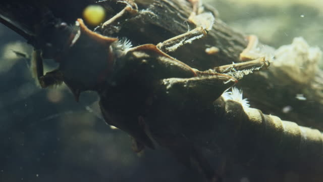 medium shot of a salmon fly walking on a branch underwater - herbivorous stock videos & royalty-free footage