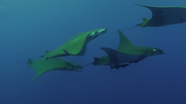 Medium shot of a school of mobula, or devil, rays swimming in blue water at the Princess Alice Sea Mount, The Azores, Portugal