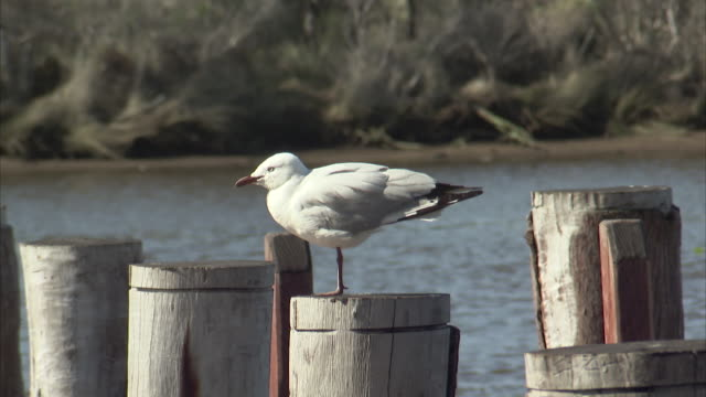 medium shot of a seagull standing on one leg - sea bird stock videos and b-roll footage