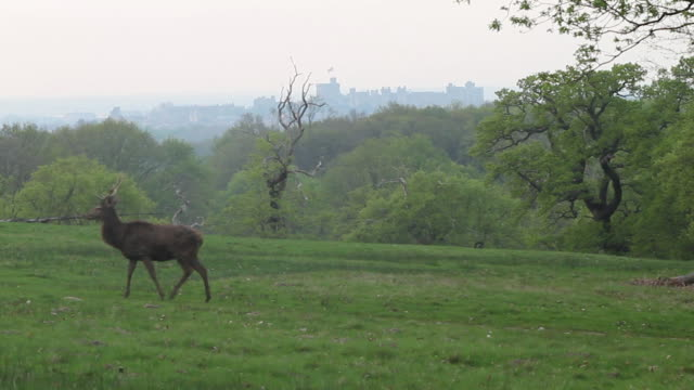 medium shot of a stag red deer grazing at windsor great park in great britain. - environment or natural disaster or climate change or earthquake or hurricane or extreme weather or oil spill or volcano or tornado or flooding stock videos & royalty-free footage