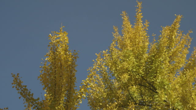 Medium shot of a tree resplendent with yellow, autumnal leaves as it sways in the breeze on a sunny day, USA.