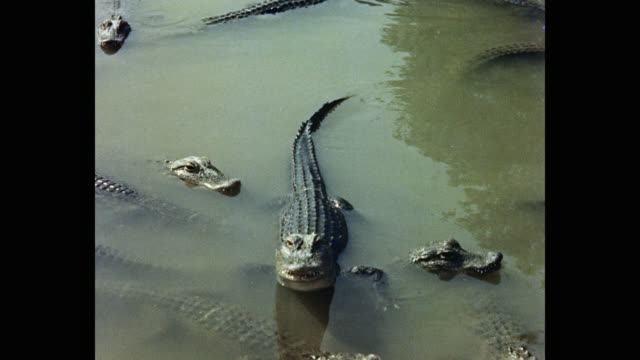 medium shot of alligators swimming in pond, usa - standing water stock videos & royalty-free footage