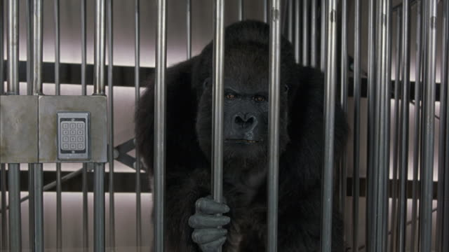 a medium shot of an angry gorilla in cage. animatronic human-operator - aggression stock videos & royalty-free footage