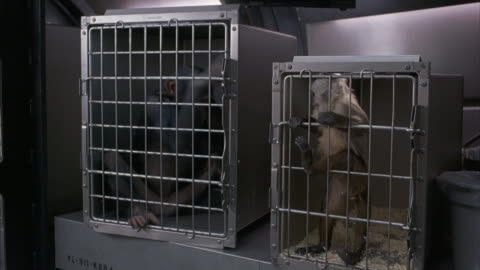 a medium shot of angry monkeys trapped in cages. - trapped stock videos & royalty-free footage
