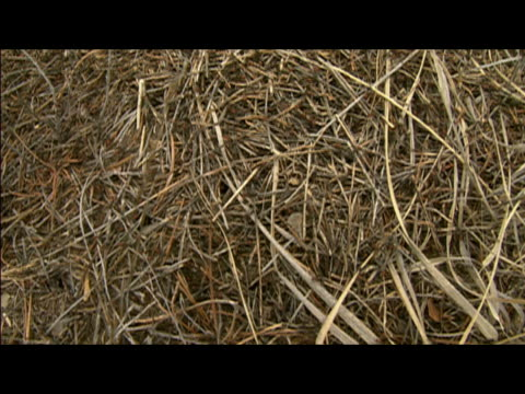 medium shot of ants with red heads and black bodies crawling over straw-covered nest - paglia video stock e b–roll