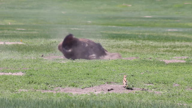 medium shot of bison rolling around in the grass and dirt in badlands national park - badlands national park stock videos & royalty-free footage