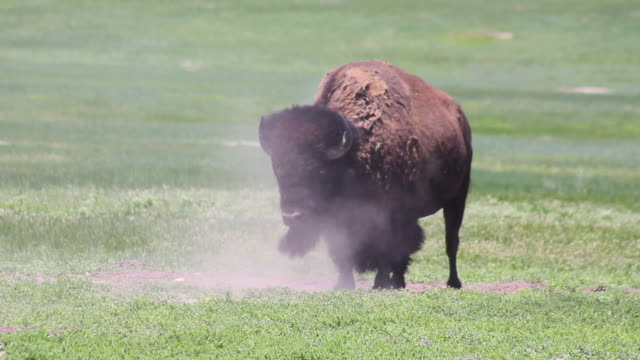 Medium Shot of bison shaking off dirt in Badlands National Park