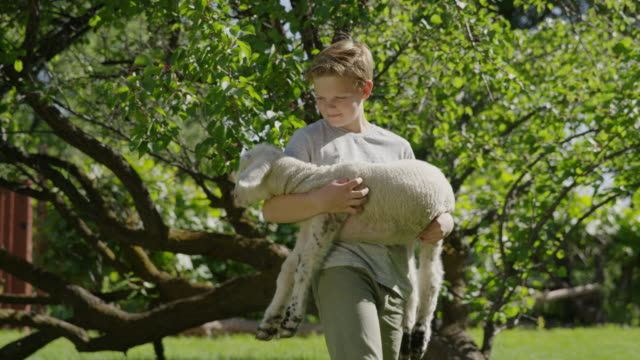 medium shot of boy holding and petting lamb / springville, utah, united states - springville utah stock videos & royalty-free footage