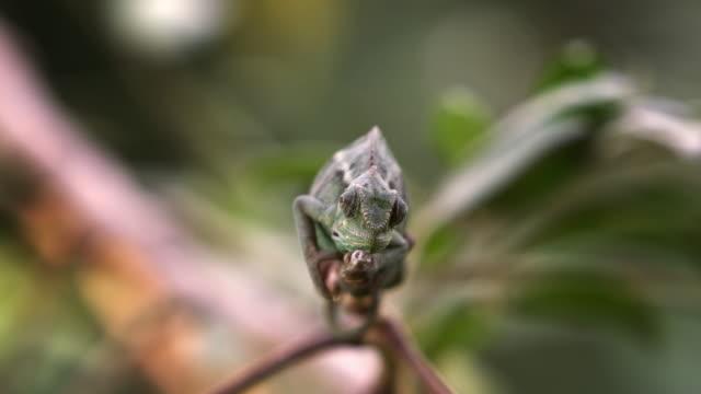 Medium shot of chameleon on branch