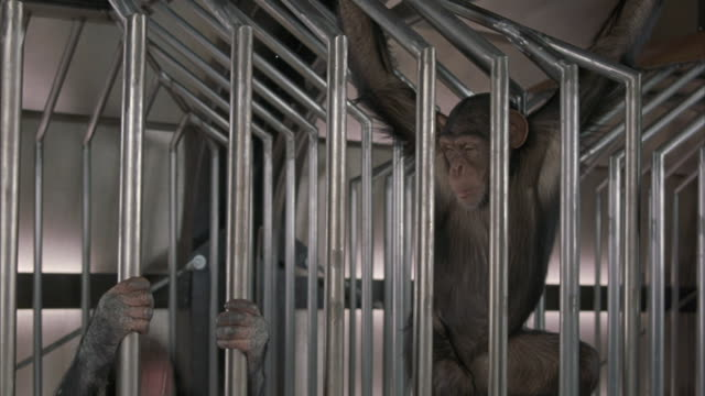A medium shot of chimps swinging around a cage.