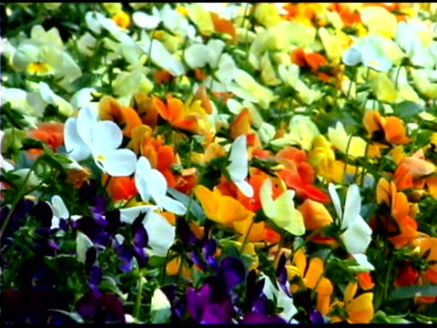 medium shot of colorful pansies - temperate flower stock videos and b-roll footage