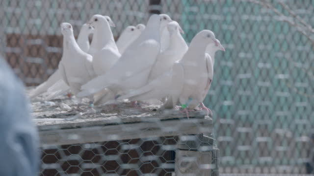 medium shot of doves perching in cage. - captive animals stock videos & royalty-free footage